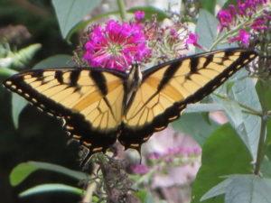 butterflies 011